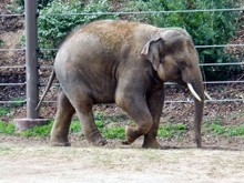 The-elephant-calf-abandoned-by-its-mother-has-been-looked-after-in-Vandaloor-Zoo