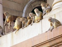 Entry-of-Monkeys-in-the-houses