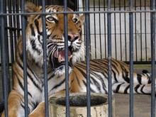 The-escaped-tiger-has-been-snared-inside-the-cage